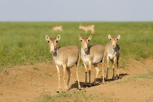 Female Saiga Antelopes (Saiga Tatarica) Cherniye Zemli Nature Reserve, Kalmykia, Russia, May by Shpilenok