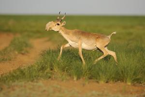 Male Saiga Antelope (Saiga Tatarica) Running, Cherniye Zemli (Black Earth) Nr, Kalmykia, Russia by Shpilenok