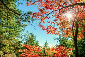 Bright Red Autumn Leaves in Sun Light by SHS Photography