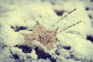 Snow Covered Decayed Maple Leaf by SHS Photography