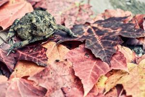 Toad amongst Fall Leaves - Retro, Faded by SHS Photography