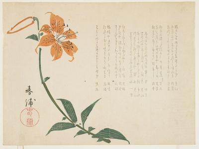 Tiger Lily, C.1861-64