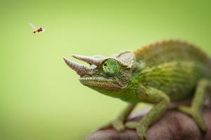 Hoverfly Flying Past a Jackson's Chameleon (Trioceros Jacksonii) by Shutterjack