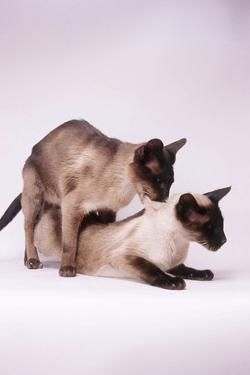 Siamese Cats Mating