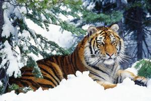 Siberian Amur Tiger Lying in Snow