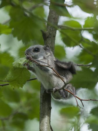 https://imgc.allpostersimages.com/img/posters/siberian-flying-squirrel-pteromys-volans-baby-feeding-on-leaves-central-finland-june_u-L-Q13A7VG0.jpg?p=0