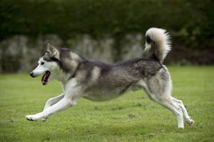 Siberian Husky Running Through Garden