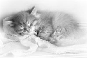 Siberian Kitten Sleeping