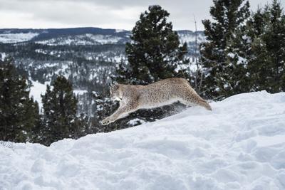 https://imgc.allpostersimages.com/img/posters/siberian-lynx-iberian-lynx-lynx-lynx-montana-united-states-of-america-north-america_u-L-PWFQN20.jpg?p=0