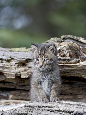 https://imgc.allpostersimages.com/img/posters/siberian-lynx-kitten-sandstone-minnesota-usa_u-L-P7NLUO0.jpg?p=0