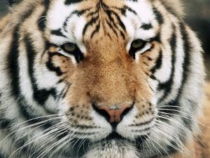 Siberian Tiger at London Zoo, March 1984