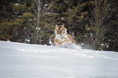 https://imgc.allpostersimages.com/img/posters/siberian-tiger-panthera-tigris-altaica-montana-united-states-of-america-north-america_u-L-PWFQME0.jpg?artPerspective=n