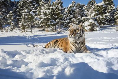https://imgc.allpostersimages.com/img/posters/siberian-tiger-panthera-tigris-altaica-montana-united-states-of-america-north-america_u-L-PWFQOE0.jpg?p=0