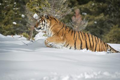 https://imgc.allpostersimages.com/img/posters/siberian-tiger-panthera-tigris-altaica-montana-united-states-of-america-north-america_u-L-PWFRCI0.jpg?p=0