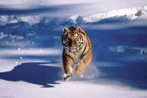 Siberian Tiger - Running In Snow