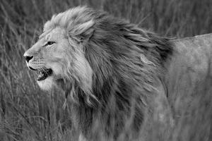 Side profile of a lion in a forest, Ngorongoro Conservation Area, Tanzania (panthera leo)