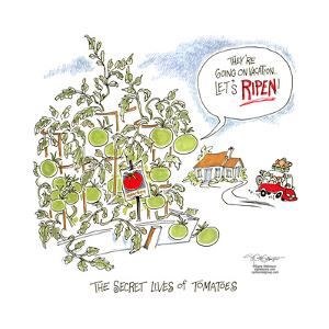 The Secret Lives of Tomatoes.  They're going on vacation. Let's ripen! by Signe Wilkinson