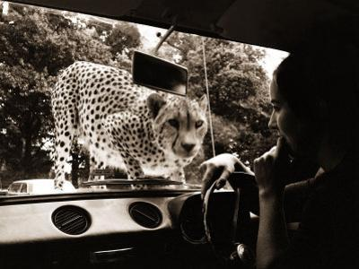 Sikuku the Cheetah Peers into a Car at Woburn Wild Animal Kingdom Bedfordshire, July 1970