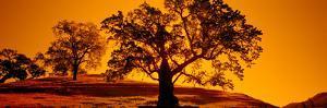 Silhouette of California Oaks Trees, Central Coast, California, USA