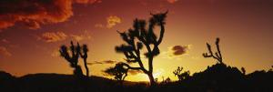 Silhouette of Joshua Trees at Sunset, Joshua Tree National Monument, California, USA