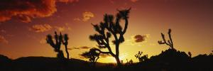 Silhouette of Joshua Trees at Sunset, Joshua Tree National Monument, California, USA