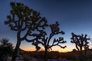 Silhouette of Joshua trees, Joshua Tree National Park, California, USA