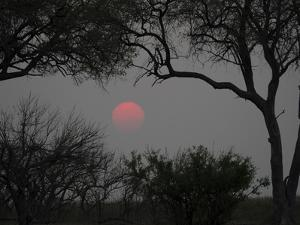 Silhouette of Leadwood Trees at Dusk, Linyanti Concession, Ngamiland, Botswana
