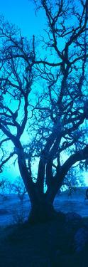Silhouette of Oaks Trees, Central Coast, California, USA