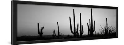 Silhouette of Saguaro Cacti (Carnegiea Gigantea) on a Landscape, Saguaro National Park, Tucson