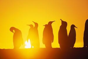 Silhouetted King Penguin Colony at Sunrise