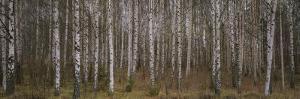 Silver Birch Trees in a Forest, Narke, Sweden