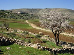 Almond Tree on Small Plot of Land, Near Mount Hebron, Israel, Middle East by Simanor Eitan