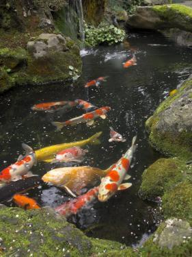 Colourful Carp in Typical Japanese Garden Pond, Higashiyama, Kyoto, Kansai, Honshu, Japan by Simanor Eitan