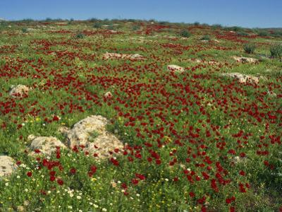 Wild Flowers Including Poppies in a Field in the Jordan Valley, Israel, Middle East