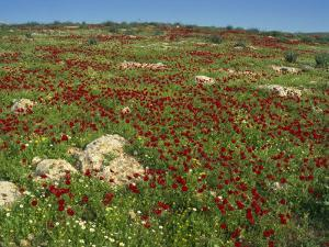 Wild Flowers Including Poppies in a Field in the Jordan Valley, Israel, Middle East by Simanor Eitan