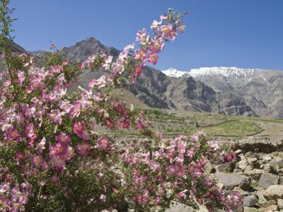 Wild Rose Shrub in Blossom with Mountains Beyond, Spiti Valley, Spiti, Himachal Pradesh, India
