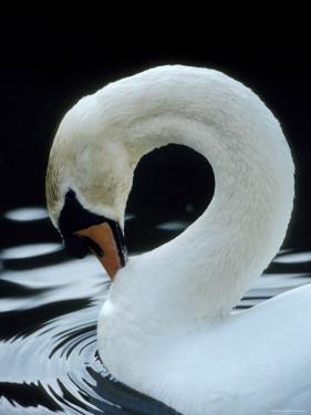 Mute Swan Male Preening, UK by Simon King