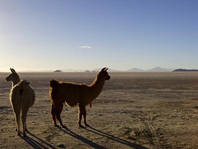 Llama and Alpaca on Salt Flats, Salar de Uyuni, Southwest Highlands, Bolivia, South America by Simon Montgomery