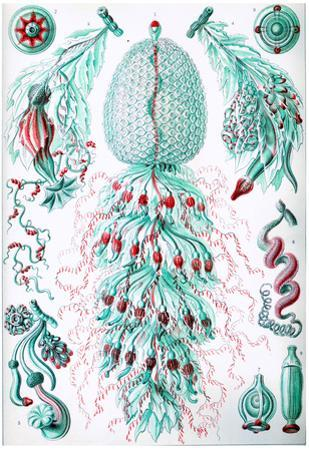 Siphonophorae Nature Art Print Poster