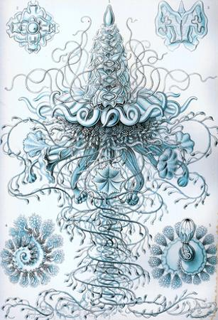 Siphonophorae Nature Print Poster by Ernst Haeckel
