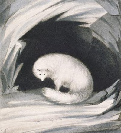 Arctic Fox, from Narrative of a Second Voyage in Search of a North-West Passage