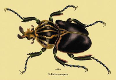 Beetle: African Goliathus Magnus