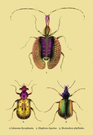Beetles: Calosoma Sycophanta, Elaphrus Raperius
