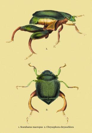 Beetles: Scarabaeus Macropus and Chrysophora Chrysochlora