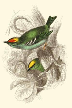 Fire-Crowned and Common Goldcrest