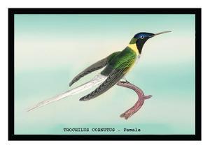 Hummingbird: Female Trochilus Cornutus by Sir William Jardine