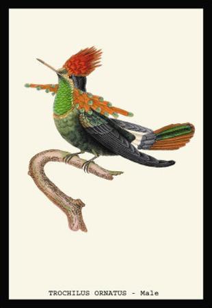 Hummingbird: Male Trochilus Ornatus