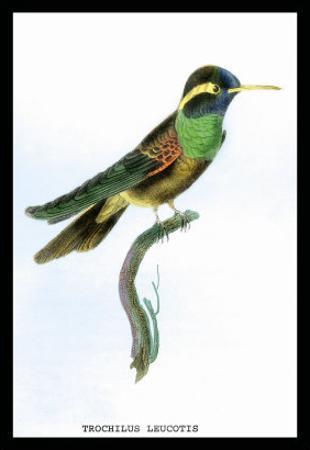 Hummingbird: Trochilus Leucotis