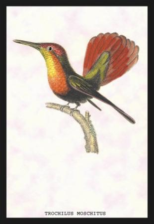 Hummingbird: Trochilus Moschitus
