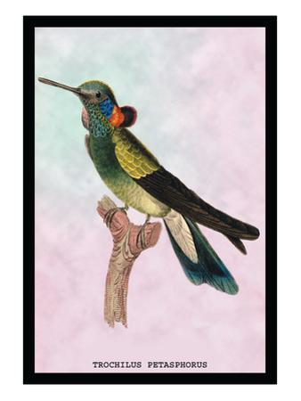 Hummingbird: Trochilus Petasphorus